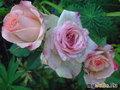 manashka-самая ЦветыЛюбимая! Уже Роза!