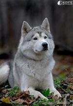 Хаски - Волки из Ледяной Сибири