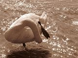 Лебеди тоже любят море