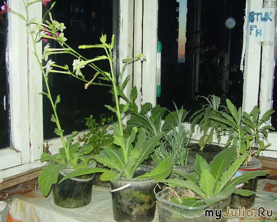 """Мои балконные цветы: дневник группы """"комнатные растения-мой ."""