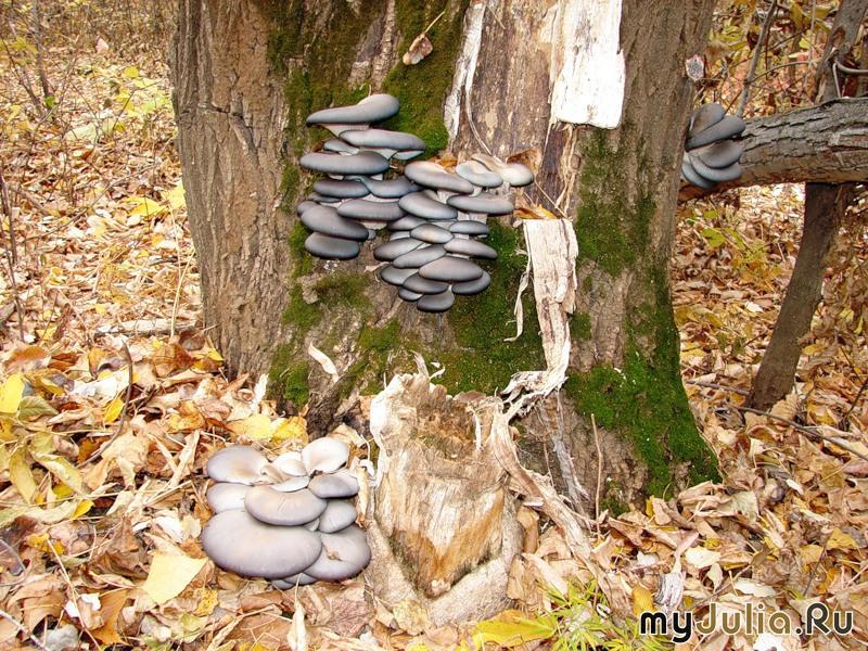 как растут вешенки в лесу фото и названия Жанр