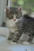 Маленький серый котенок или Сумрак и Мыш