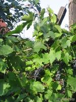 Виноград и немного яблок