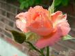 Аромат розы в саду