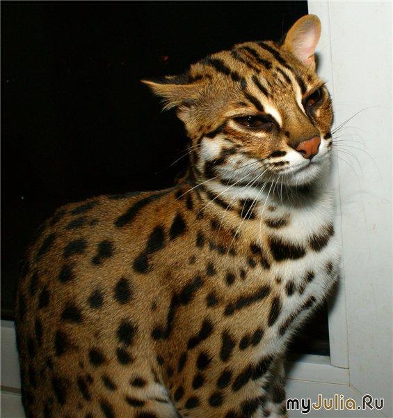 Бенгальская кошка леопардового