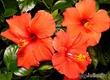 Комнатная любимица - китайская роза