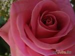 Аромат... Цветы...Роза...Любовь