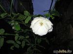 Розы к Новому Году