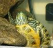 Рептилии тоже достойны любви! (О красноухой пресноводной черепахе)