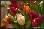 Тюльпаны и крокусы