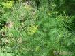 Ценная зелень - укроп