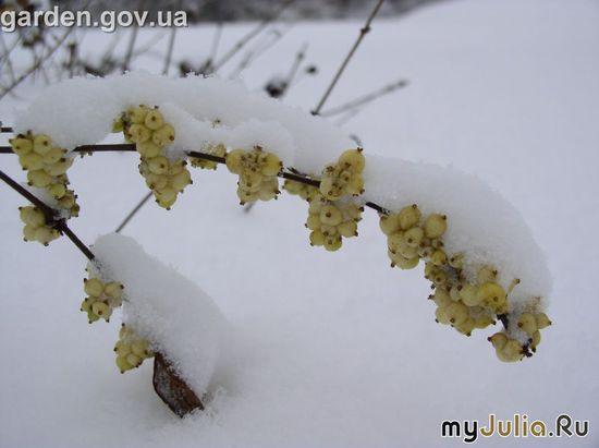 Заснеженный снежноягодник