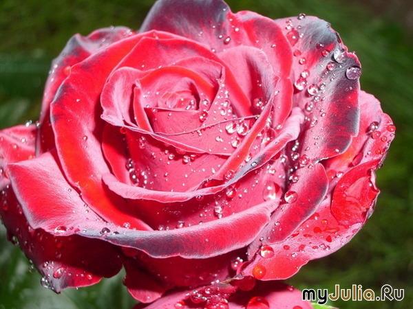 Самая красивая цветов