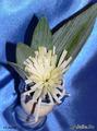 Простая хризантема