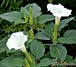 Святой цветок Полярной звезды