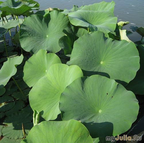 Листья лотосов