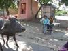 Буйвол и дети в Индии