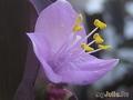 Цветок сеткреазии
