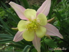 Аквилегия гибридная МакКаны 'Деликатиссима' Aquilegia hybrida Mckana  'Delikatissima'