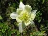 Аквилегия гибридная МакКаны 'Кандиссима' Aquilegia hybrida Mckana 'Kandissima'
