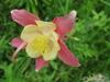 Аквилегия гибридная МакКаны 'Кримсон Стар' Aquilegia hybrida Mckana 'Crimson Star'