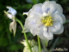 Аквилегия обыкновенная 'Блу' Aquilegia vulgaris 'Blue'