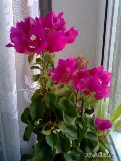 Цветок что пахнет ночью