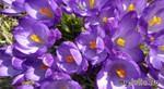 Весенние цветочки.