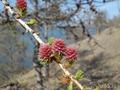 Байкальская лиственница