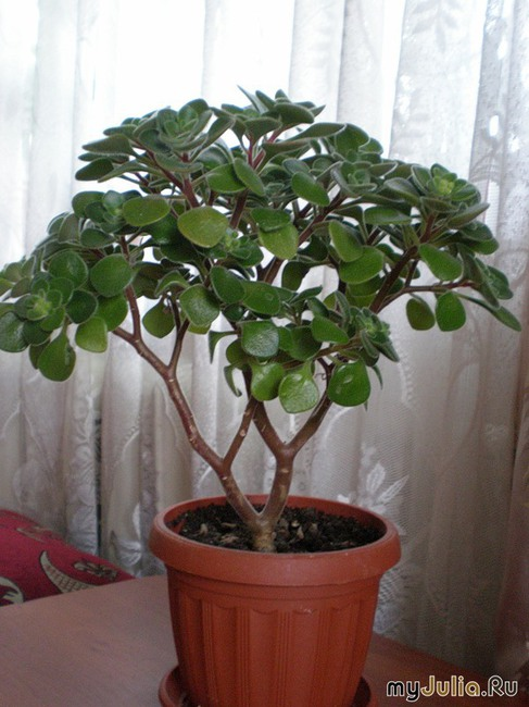 Цветок дерево счастья и уход за ними