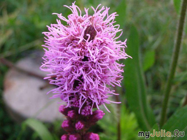 цветы конопли