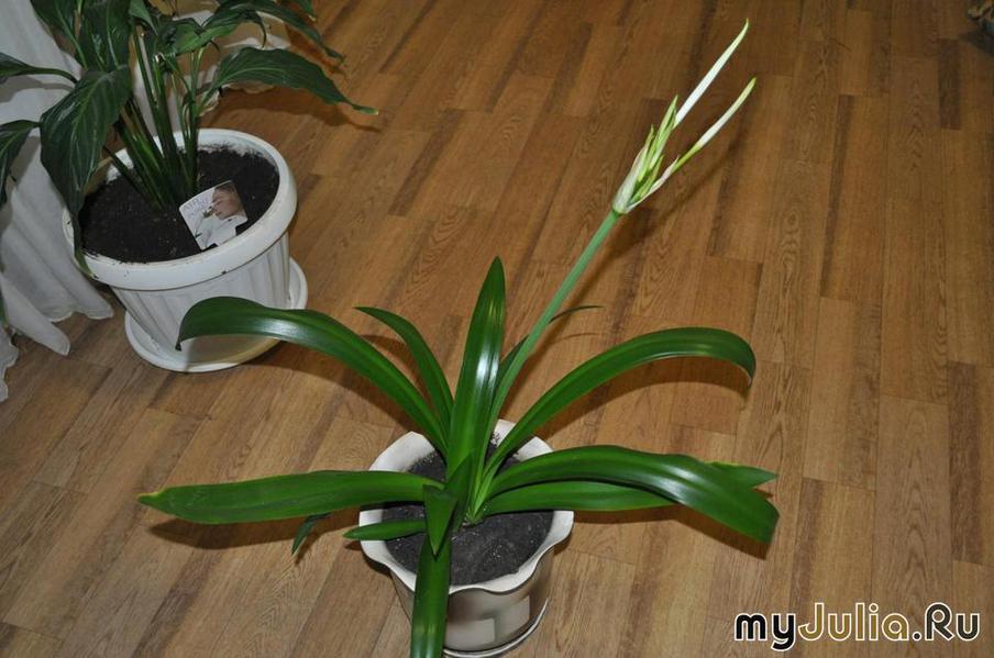 Цветы гименокаллис  orhideru