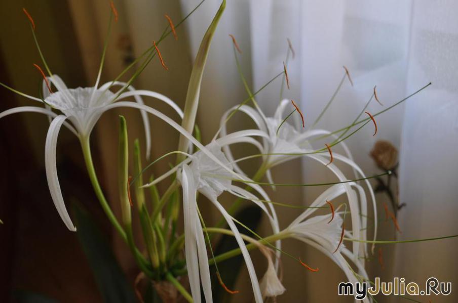 Гименокаллис уход в домашних условиях gtgt выращивание