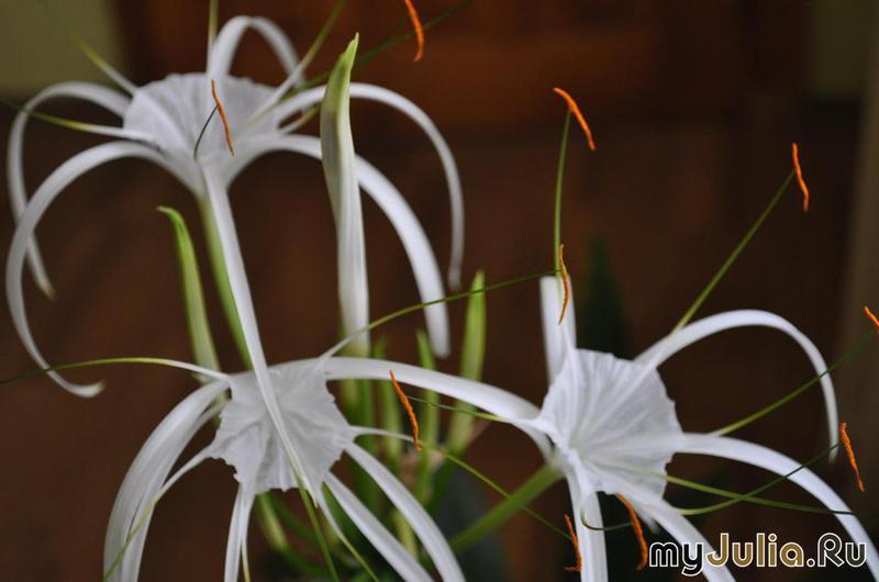 Гименокаллис панкрациум исмене  Комнатные цветы и растения