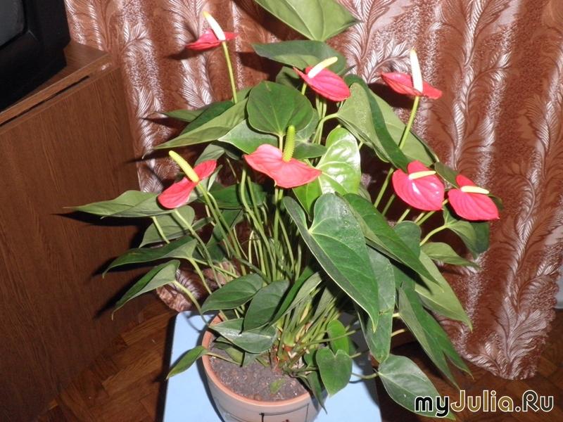 Женский цветок антуриум как ухаживать