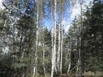 Как прекрасен этот лес - посмотри...