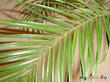 История одной финиковой пальмы...