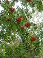 ягода рябина, нас к себе манила