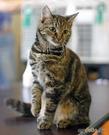Любимый крысолов - европейская короткошерстная кошка