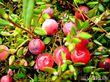 Клюква садовая (крупноплодная)