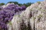 Япония: сады в цвету