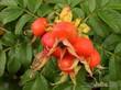 """Если облепиха -  """"поливитамин с ветки """", то шиповник - натуральная аскорбинка: в его плодах витамина С в 50 раз больше..."""