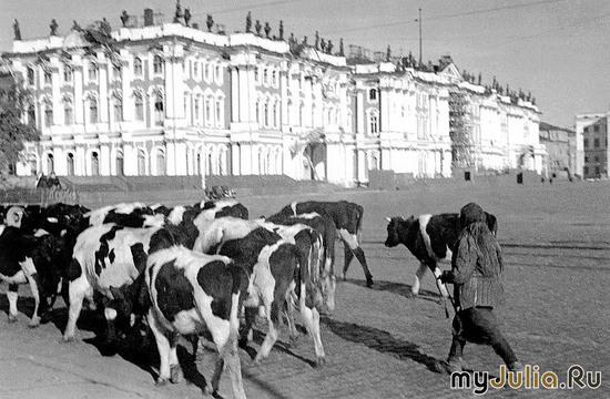 Коровы на Дворцовой