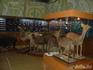 В музее Лазовского заповедника чучела зверей - только из  отнятой у браконьеров добычи и из зверей, погибших естественным образом.