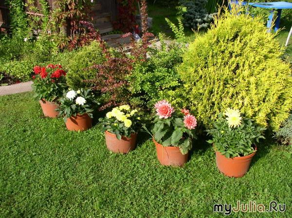 Фото и описание цветов в горшках 18