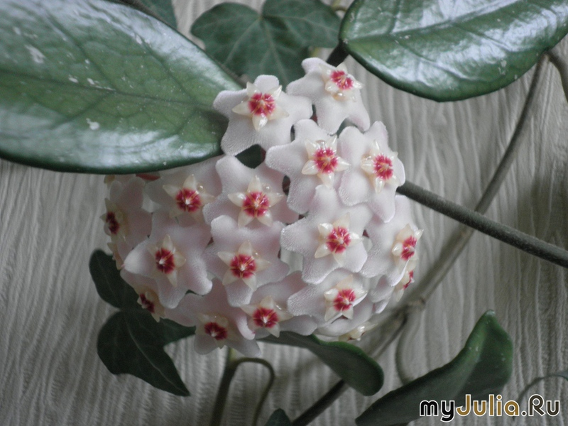 Звёздочка цветок