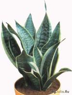 Сансевиерия - цветок, который настроен на счастье