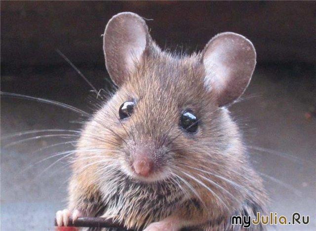 При словосочетании серая мышь в