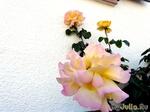 мои розы(железке)