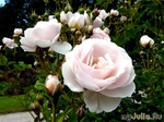 Баденские розы